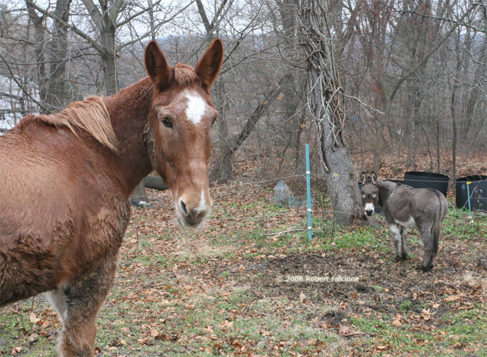 an analysis of spotted horses vs mule in the yard To learn more about steve edwards, how to properly train your mule including building a foundation and communication (which is everything when working with.